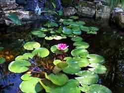 lily-pond-water-garden2.jpg