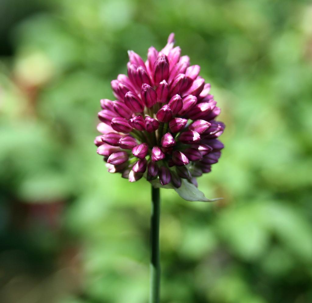 Single Purple Allium flower