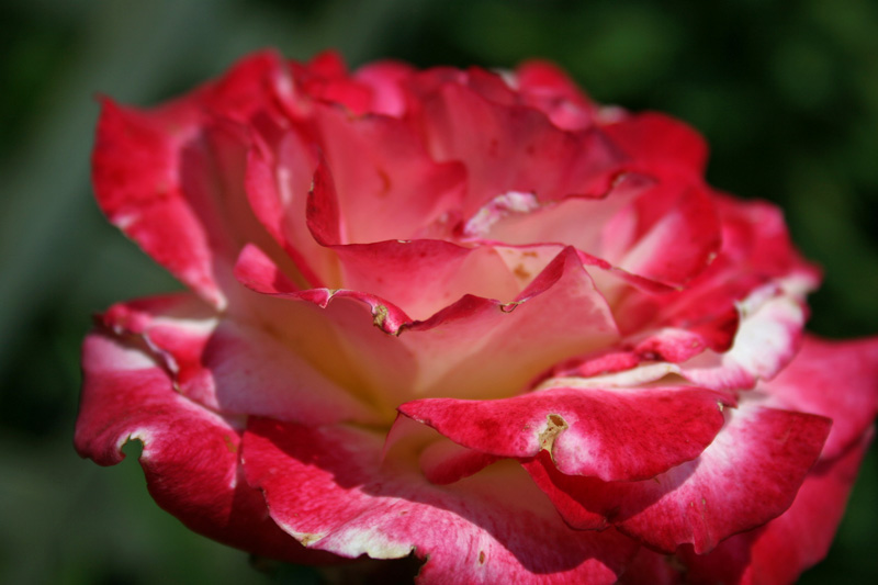 Fragrant Cloud Rose